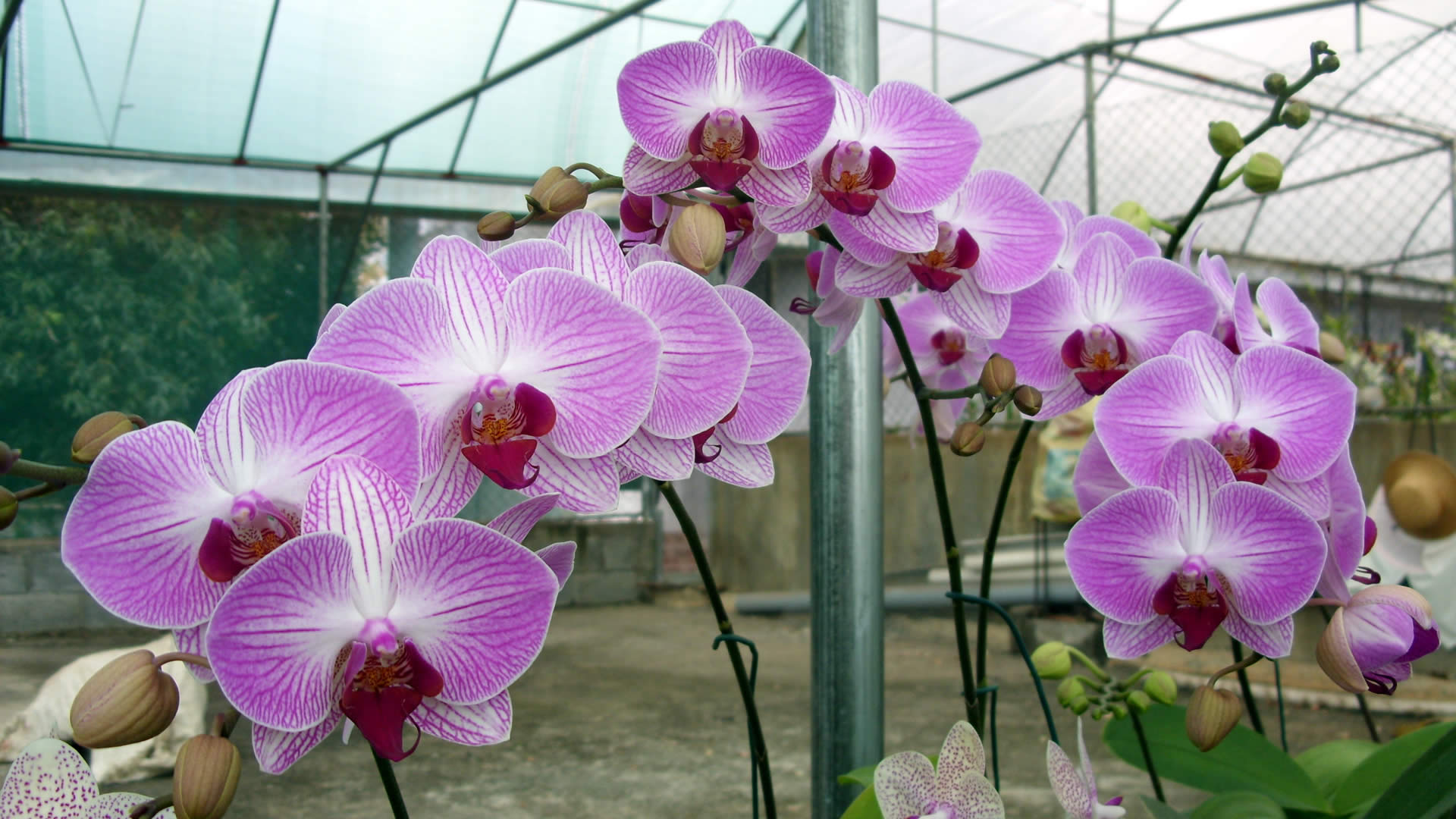 Growth Rate likewise Dendrobium Spectabile 40 moreover Cattleya Trianaei Semi Alba Flamea Kathleen Cceaos 2945 furthermore Vanda Roberts Delight Red Berry 3189 additionally Nobiletypedendrobiumcare. on growing orchids home